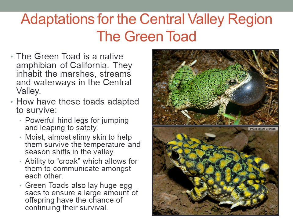 Adaptations for the Central Valley Region The Green Toad The Green Toad is a native amphibian of California. They inhabit the marshes, streams and wat