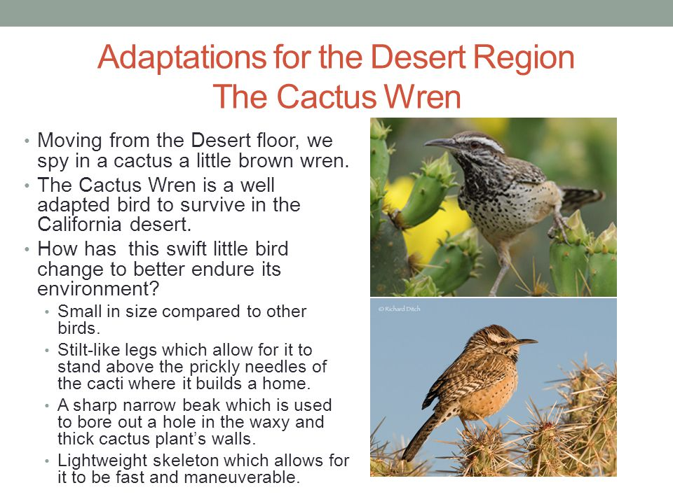 Adaptations for the Desert Region The Cactus Wren Moving from the Desert floor, we spy in a cactus a little brown wren. The Cactus Wren is a well adap