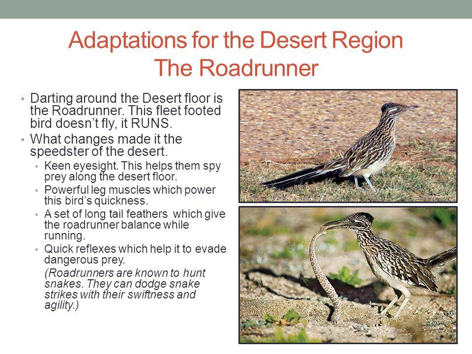 Adaptations for the Desert Region The Roadrunner Darting around the Desert floor is the Roadrunner. This fleet footed bird doesn't fly, it RUNS. What