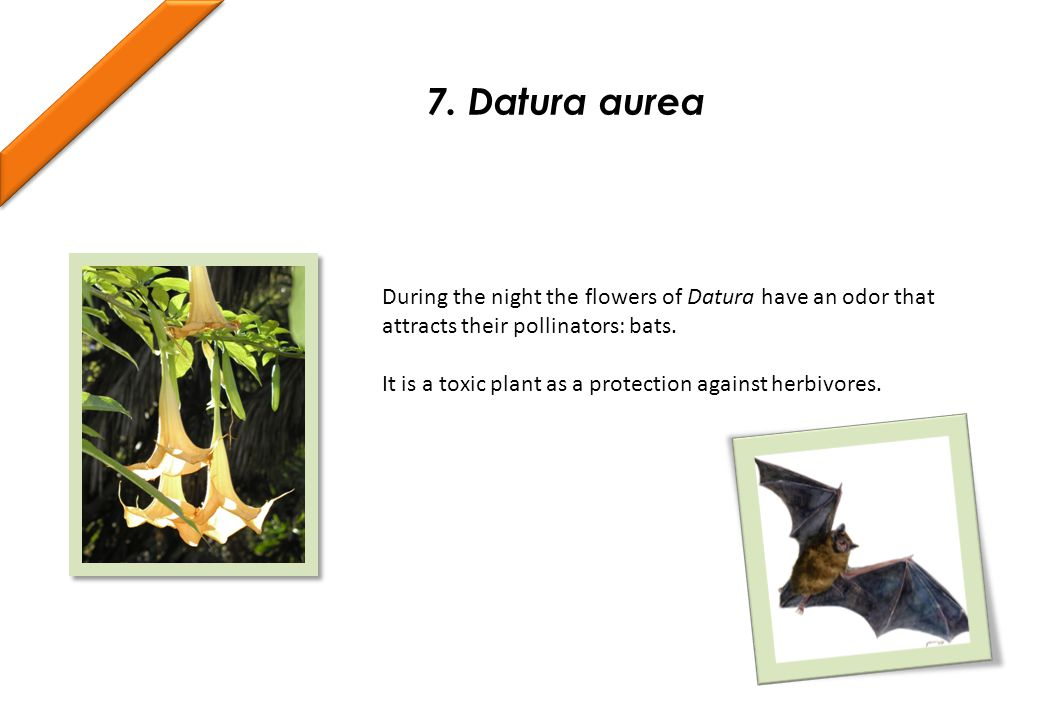 During the night the flowers of Datura have an odor that attracts their pollinators: bats.