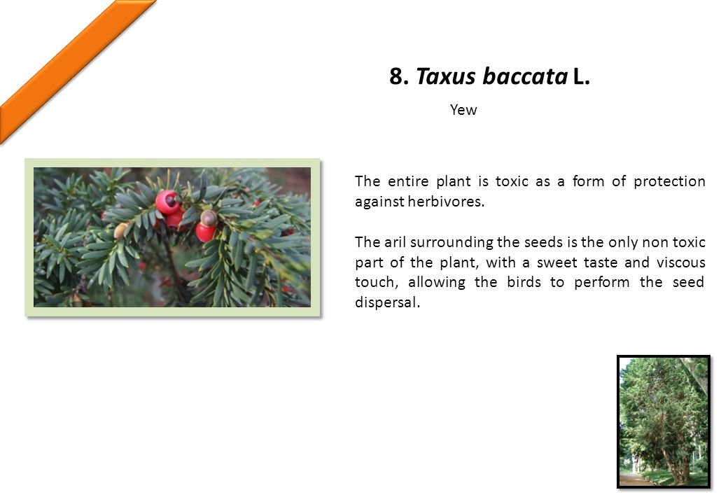 8. Taxus baccata L. The entire plant is toxic as a form of protection against herbivores.