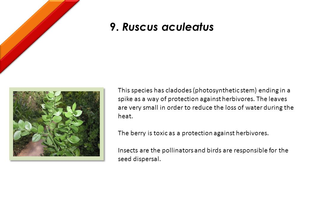 9. Ruscus aculeatus This species has cladodes (photosynthetic stem) ending in a spike as a way of protection against herbivores. The leaves are very s