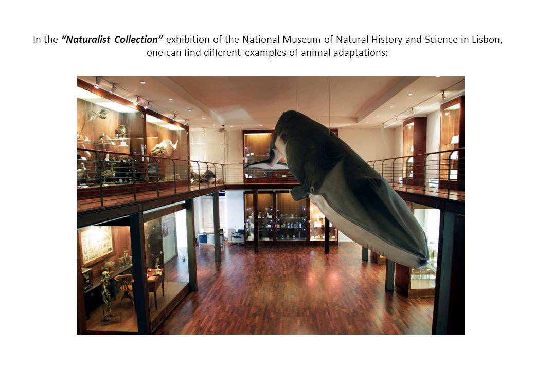 In the Naturalist Collection exhibition of the National Museum of Natural History and Science in Lisbon, one can find different examples of animal adaptations: