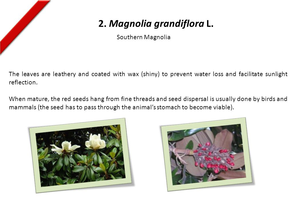 2. Magnolia grandiflora L. The leaves are leathery and coated with wax (shiny) to prevent water loss and facilitate sunlight reflection. When mature,