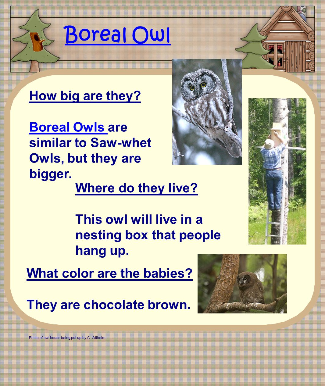 Boreal Owl How big are they.
