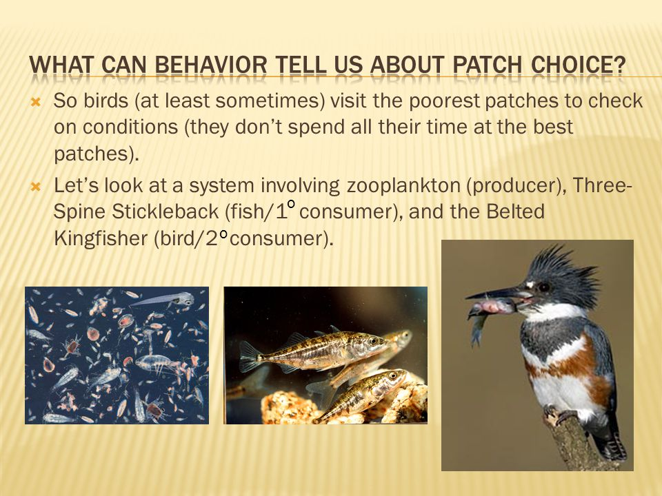  So birds (at least sometimes) visit the poorest patches to check on conditions (they don't spend all their time at the best patches).