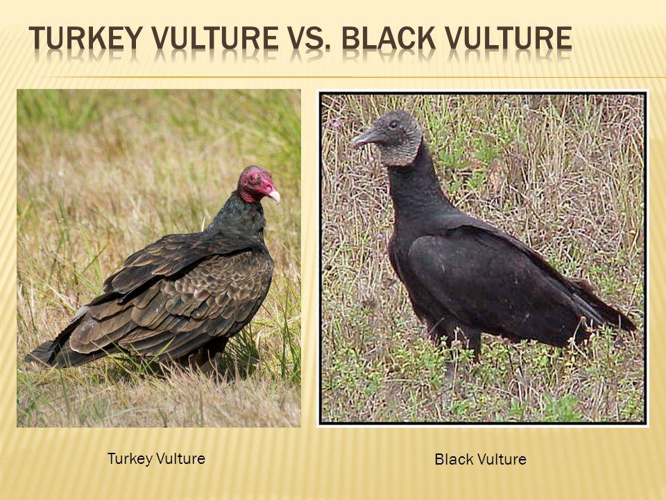 Turkey Vulture Black Vulture