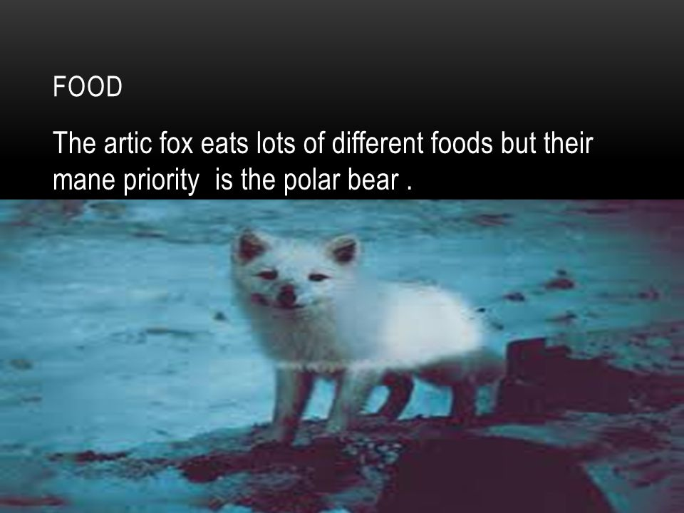FOOD The artic fox eats lots of different foods but their mane priority is the polar bear.