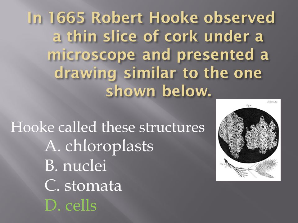 Hooke called these structures A. chloroplasts B. nuclei C. stomata D. cells