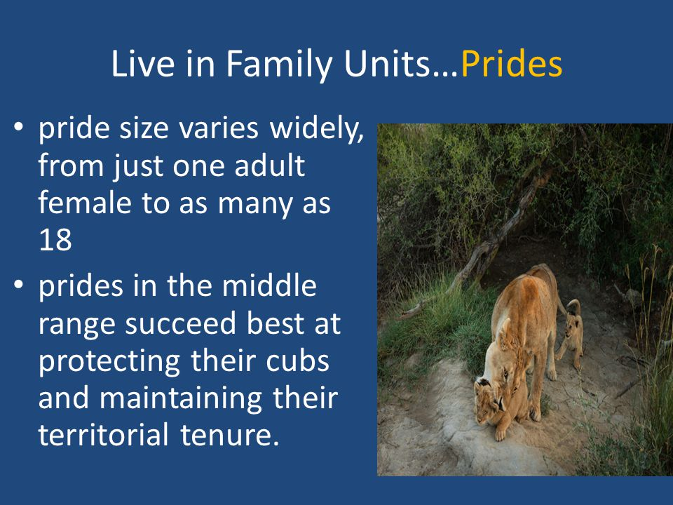Live in Family Units…Prides pride size varies widely, from just one adult female to as many as 18 prides in the middle range succeed best at protecting their cubs and maintaining their territorial tenure.