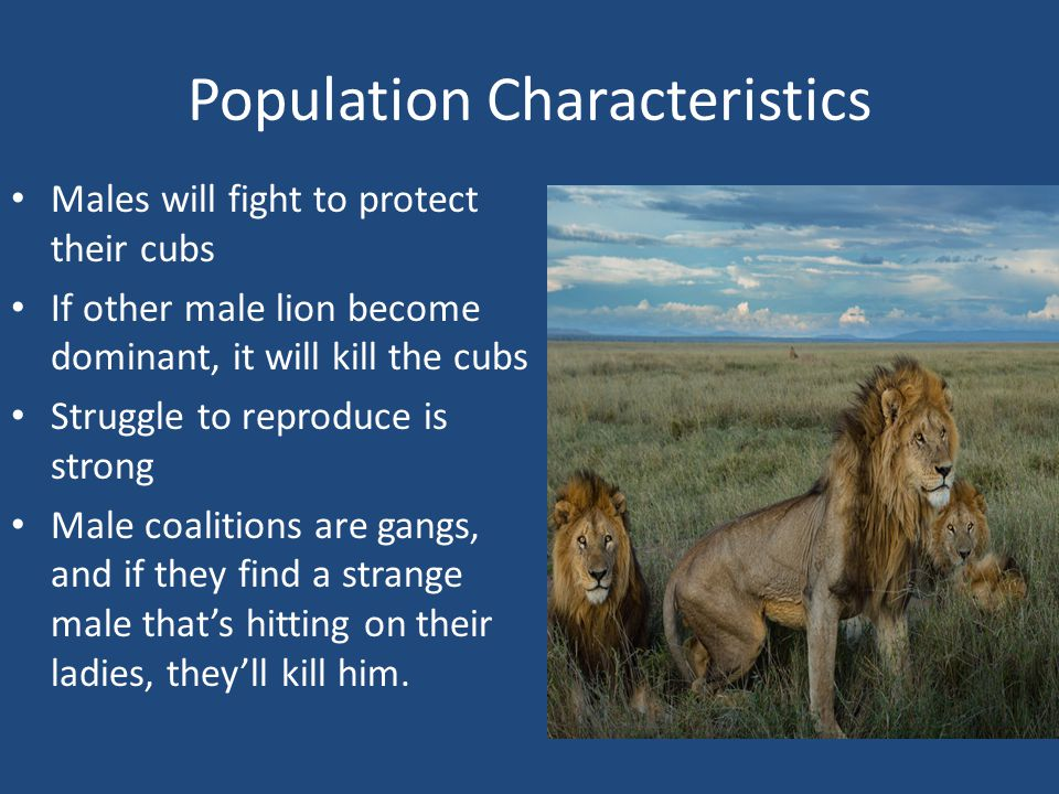 Population Characteristics Males will fight to protect their cubs If other male lion become dominant, it will kill the cubs Struggle to reproduce is strong Male coalitions are gangs, and if they find a strange male that's hitting on their ladies, they'll kill him.