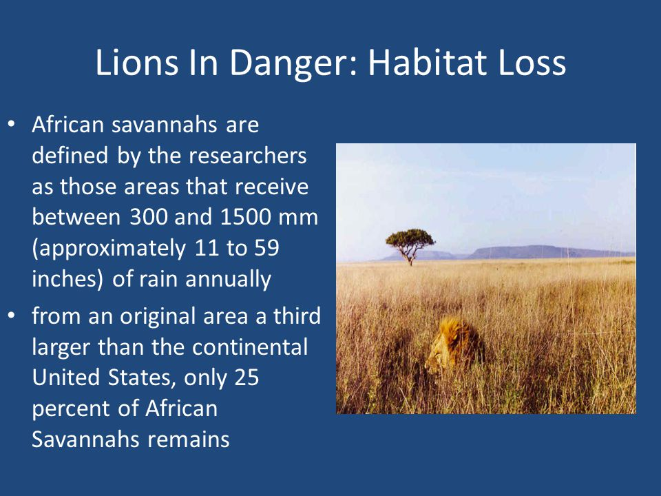 Lions In Danger: Habitat Loss African savannahs are defined by the researchers as those areas that receive between 300 and 1500 mm (approximately 11 to 59 inches) of rain annually from an original area a third larger than the continental United States, only 25 percent of African Savannahs remains