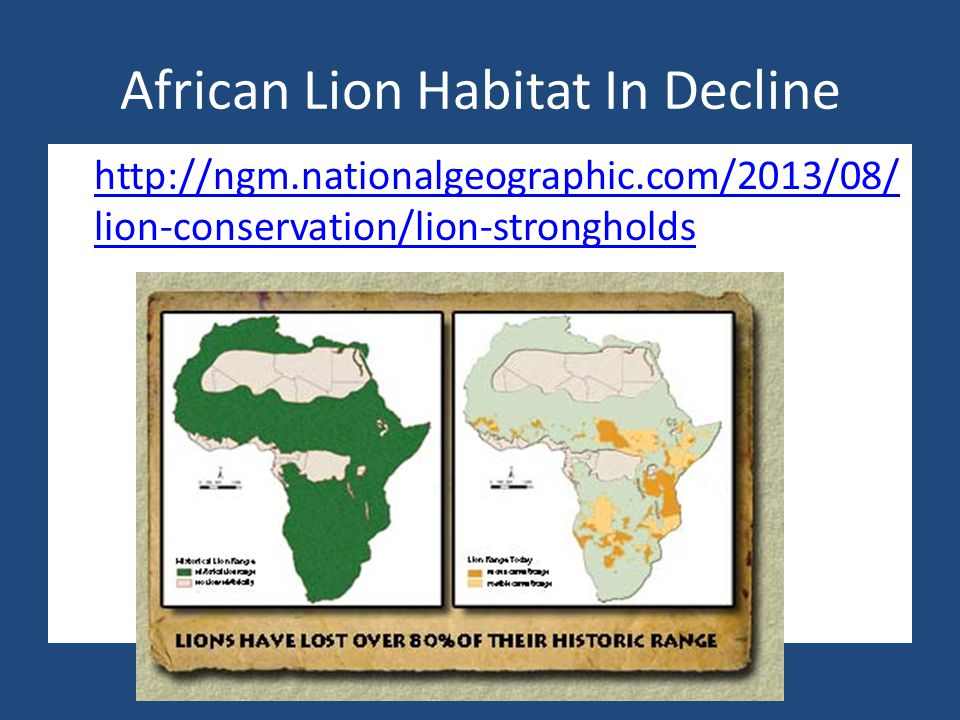African Lion Habitat In Decline http://ngm.nationalgeographic.com/2013/08/ lion-conservation/lion-strongholds http://ngm.nationalgeographic.com/2013/08/ lion-conservation/lion-strongholds