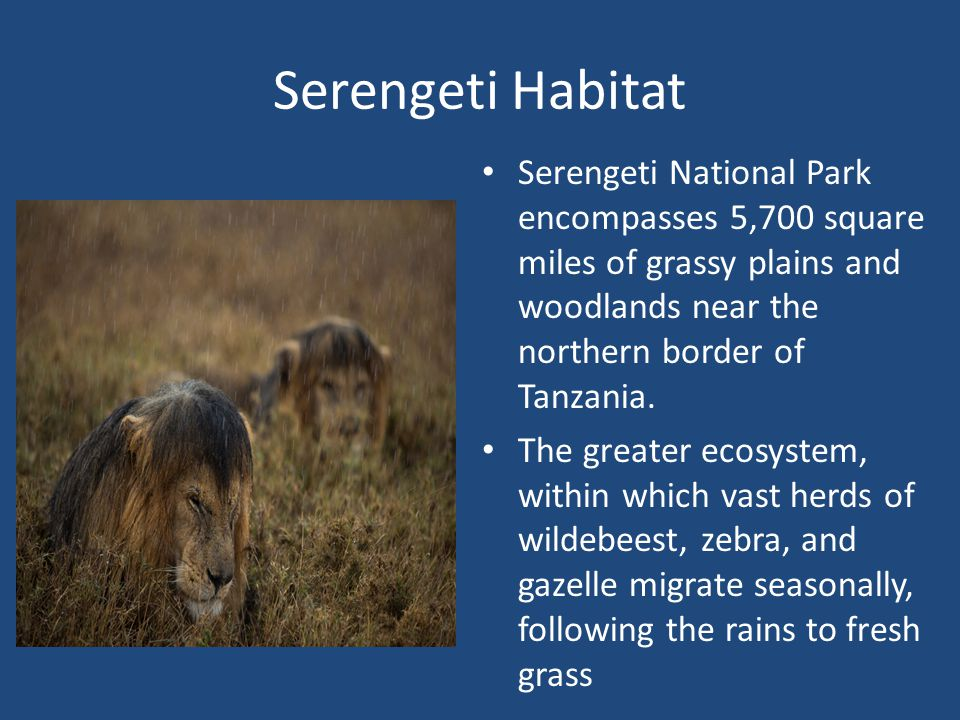 Serengeti Habitat Serengeti National Park encompasses 5,700 square miles of grassy plains and woodlands near the northern border of Tanzania.