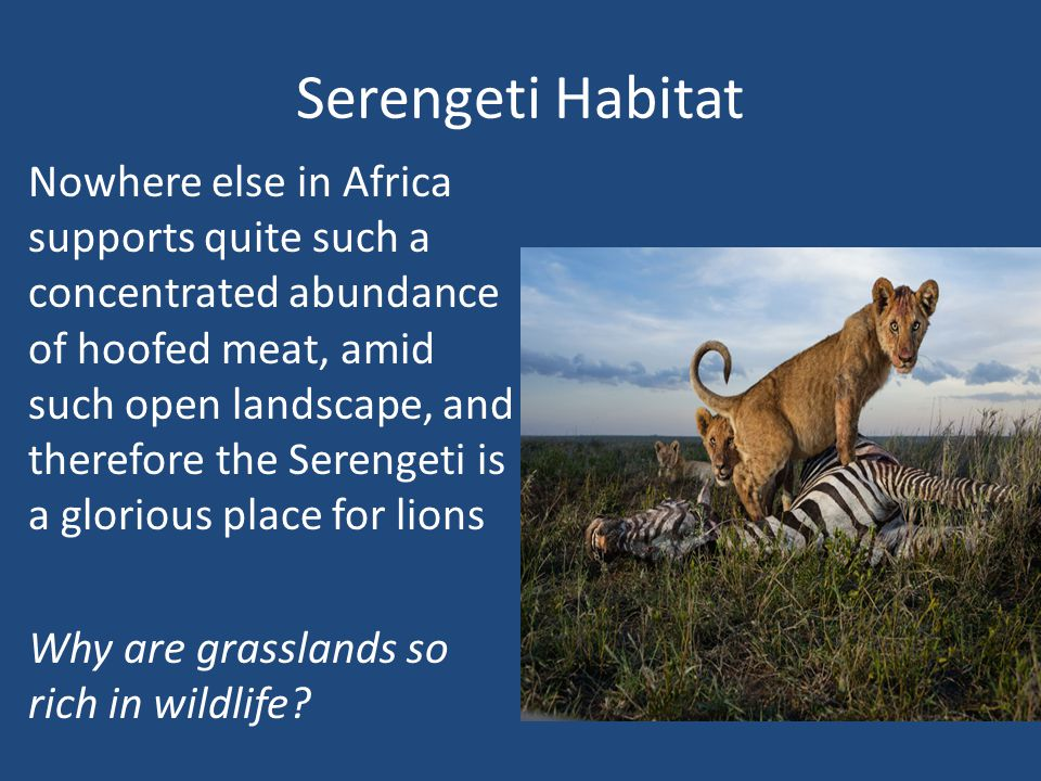 Serengeti Habitat Nowhere else in Africa supports quite such a concentrated abundance of hoofed meat, amid such open landscape, and therefore the Serengeti is a glorious place for lions Why are grasslands so rich in wildlife?