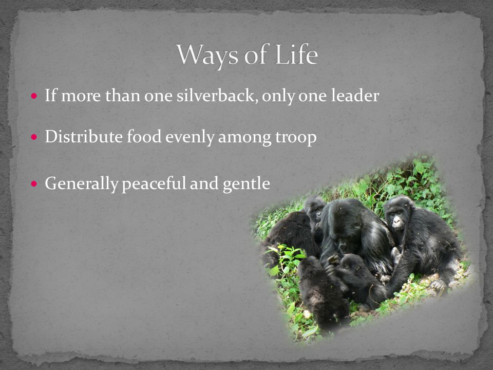 If more than one silverback, only one leader Distribute food evenly among troop Generally peaceful and gentle