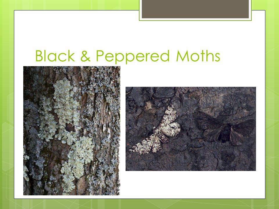 Black & Peppered Moths