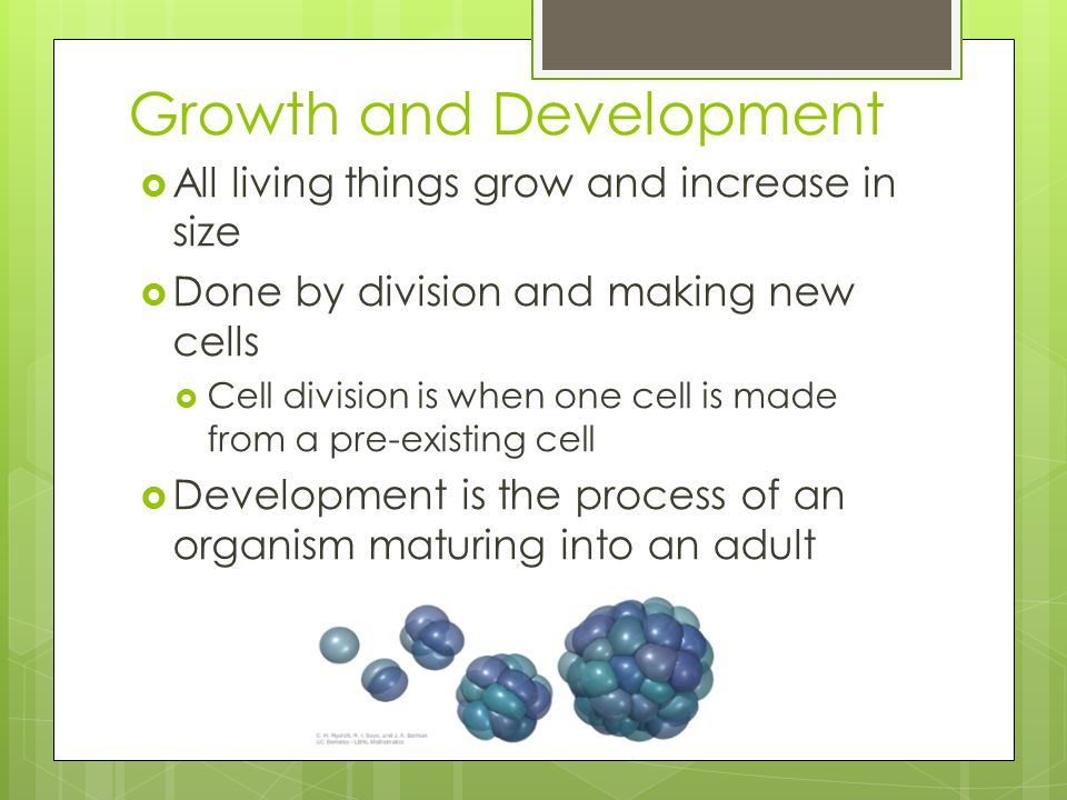 Growth and Development  All living things grow and increase in size  Done by division and making new cells  Cell division is when one cell is made from a pre-existing cell  Development is the process of an organism maturing into an adult
