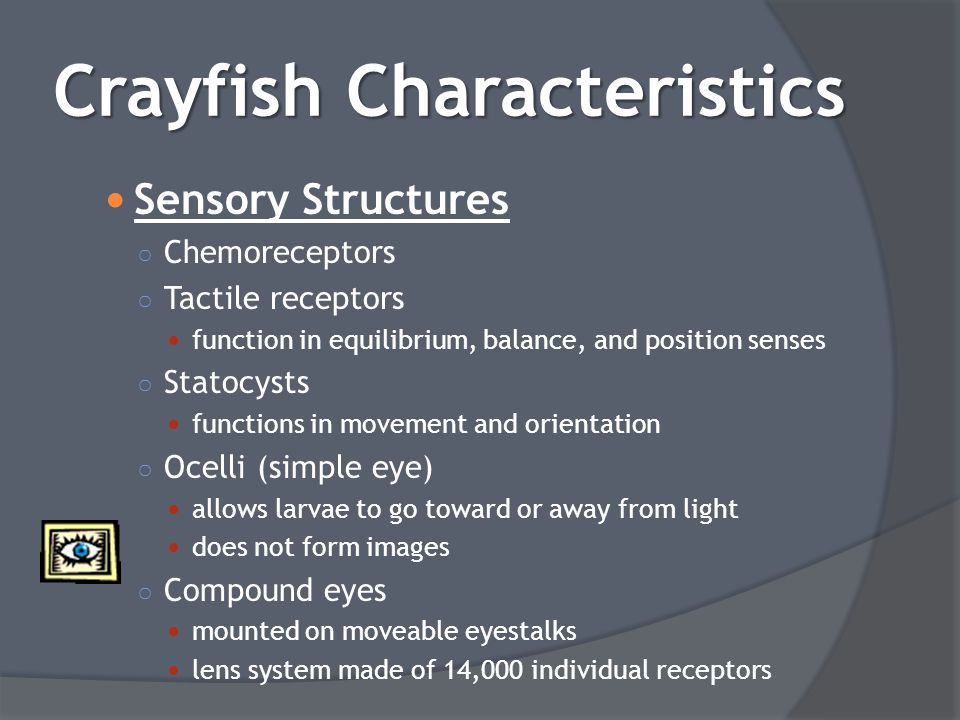 Sensory Structures ○ Chemoreceptors ○ Tactile receptors function in equilibrium, balance, and position senses ○ Statocysts functions in movement and o