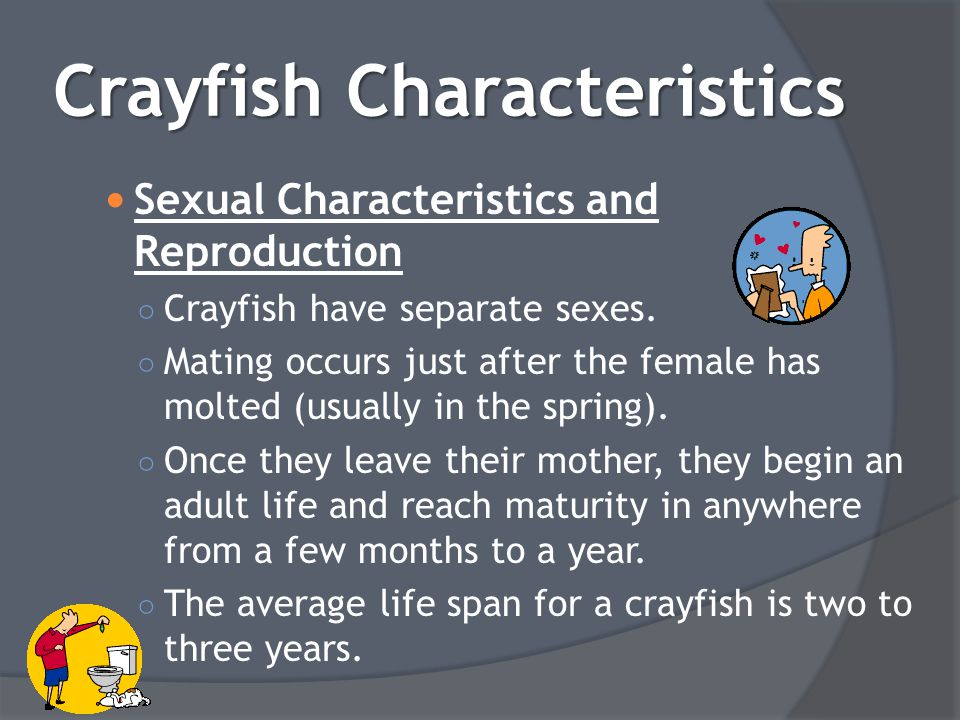 Sexual Characteristics and Reproduction ○ Crayfish have separate sexes. ○ Mating occurs just after the female has molted (usually in the spring). ○ On