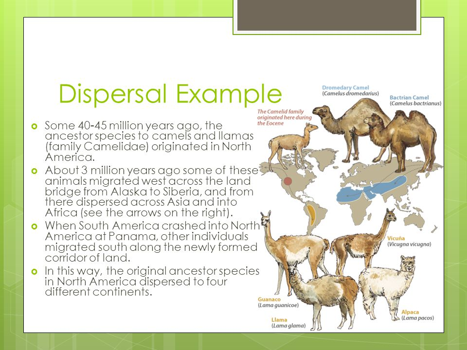 Dispersal Example  Some 40-45 million years ago, the ancestor species to camels and llamas (family Camelidae) originated in North America.  About 3