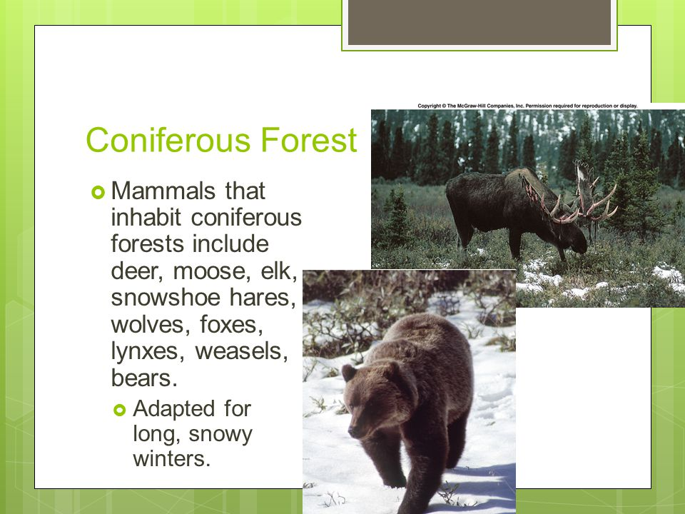 Coniferous Forest  Mammals that inhabit coniferous forests include deer, moose, elk, snowshoe hares, wolves, foxes, lynxes, weasels, bears.  Adapted