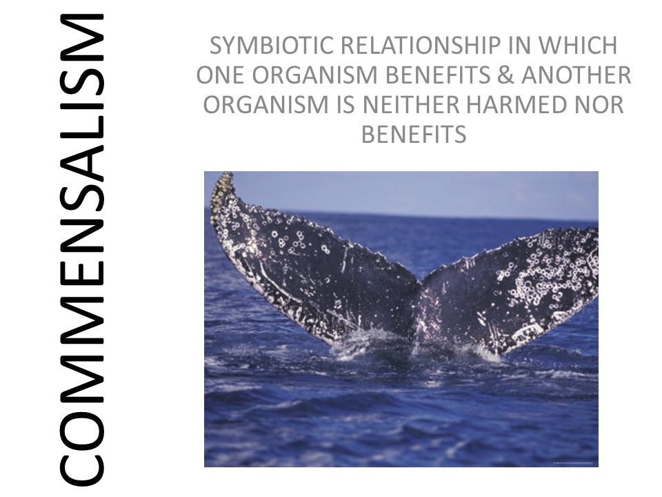 COMMENSALISM SYMBIOTIC RELATIONSHIP IN WHICH ONE ORGANISM BENEFITS & ANOTHER ORGANISM IS NEITHER HARMED NOR BENEFITS