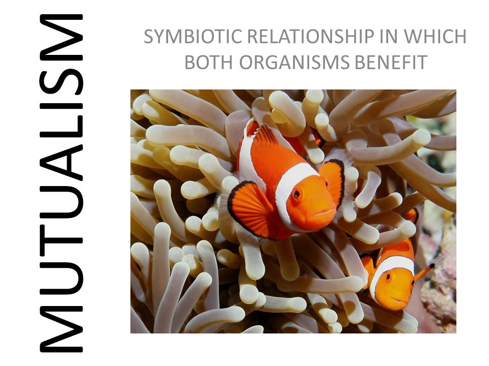 MUTUALISM SYMBIOTIC RELATIONSHIP IN WHICH BOTH ORGANISMS BENEFIT