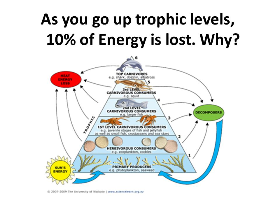As you go up trophic levels, 10% of Energy is lost. Why?