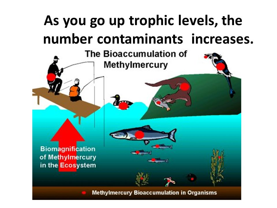 As you go up trophic levels, the number contaminants increases.