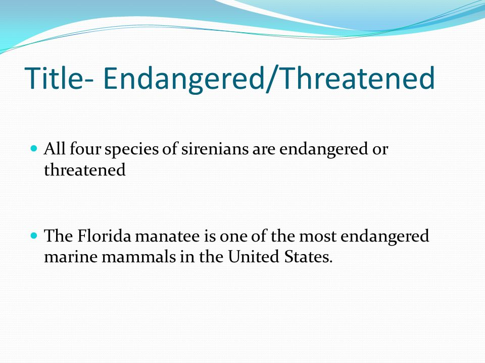 Title- Endangered/Threatened All four species of sirenians are endangered or threatened The Florida manatee is one of the most endangered marine mammals in the United States.