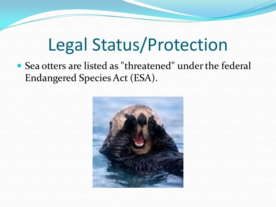 Legal Status/Protection Sea otters are listed as threatened under the federal Endangered Species Act (ESA).