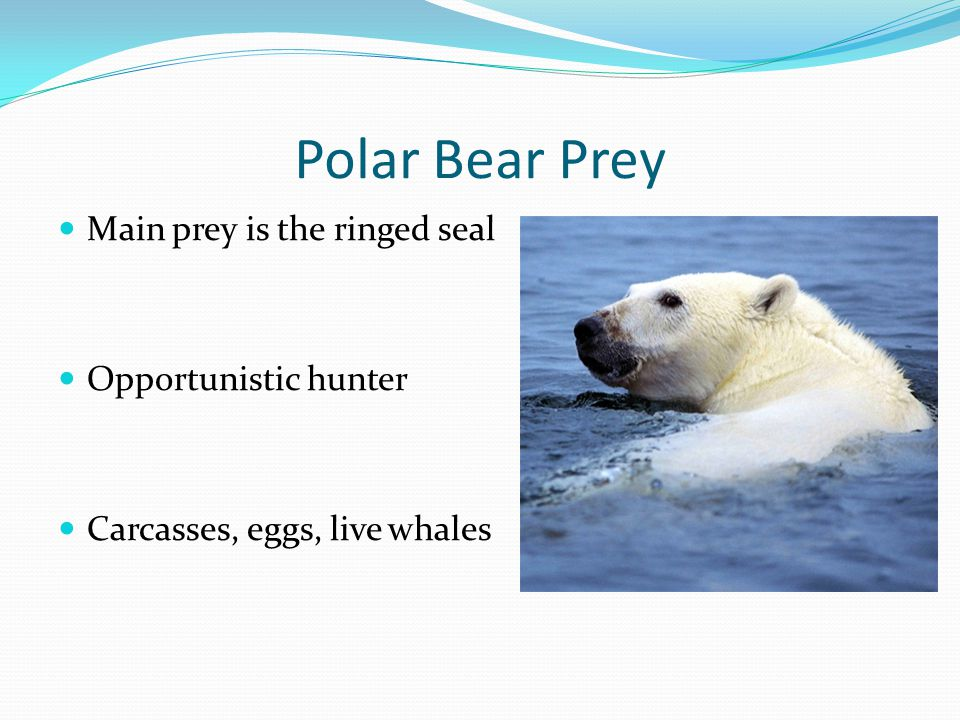 Polar Bear Prey Main prey is the ringed seal Opportunistic hunter Carcasses, eggs, live whales