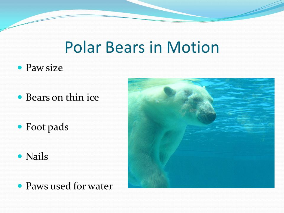 Polar Bears in Motion Paw size Bears on thin ice Foot pads Nails Paws used for water