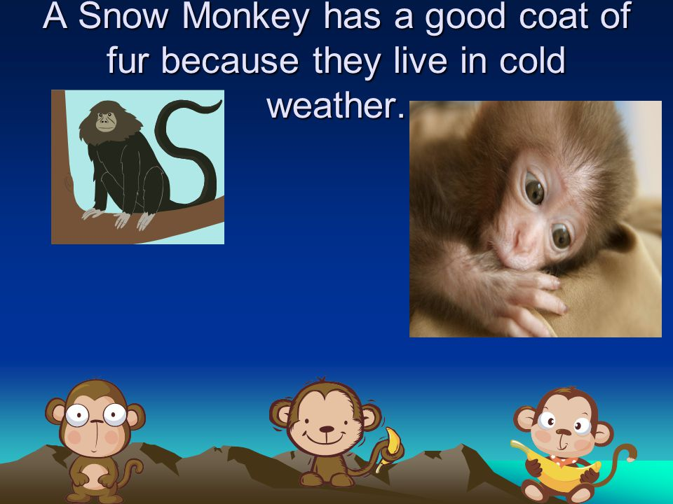 A Snow Monkey has a good coat of fur because they live in cold weather.