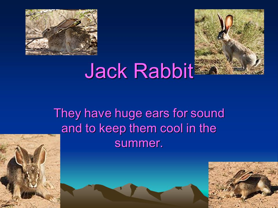 Jack Rabbit They have huge ears for sound and to keep them cool in the summer.