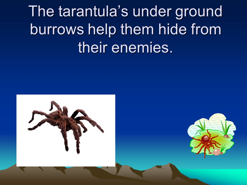 Tarantula Tarantula's fangs help protect them. By Nate