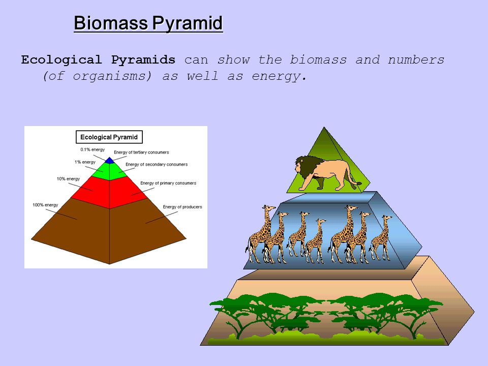 Ecological Pyramid Ecological Pyramid is a diagram that shows the relative amounts of energy in different trophic levels in an ecosystem.