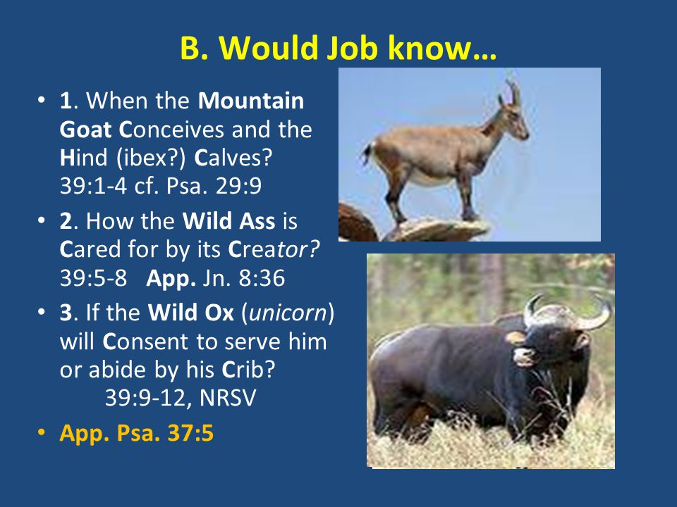 B. Would Job know… 1. When the Mountain Goat Conceives and the Hind (ibex ) Calves.
