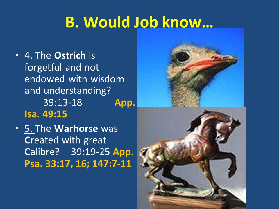 B. Would Job know… 4. The Ostrich is forgetful and not endowed with wisdom and understanding? 39:13-18 App. Isa. 49:15 5. The Warhorse was Created wit