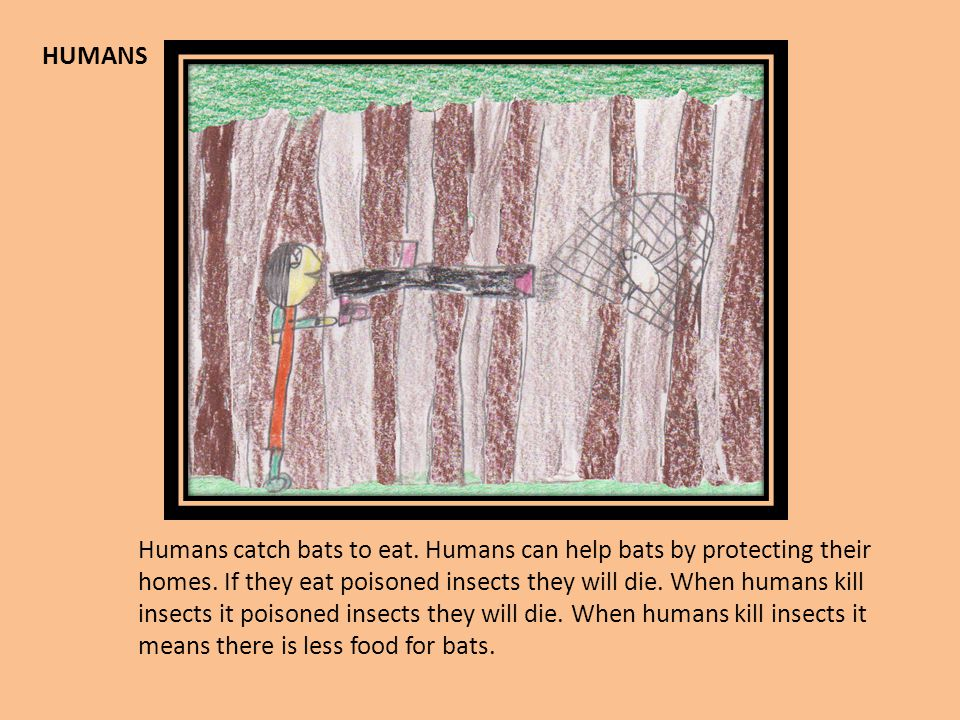 HUMANS Humans catch bats to eat. Humans can help bats by protecting their homes. If they eat poisoned insects they will die. When humans kill insects