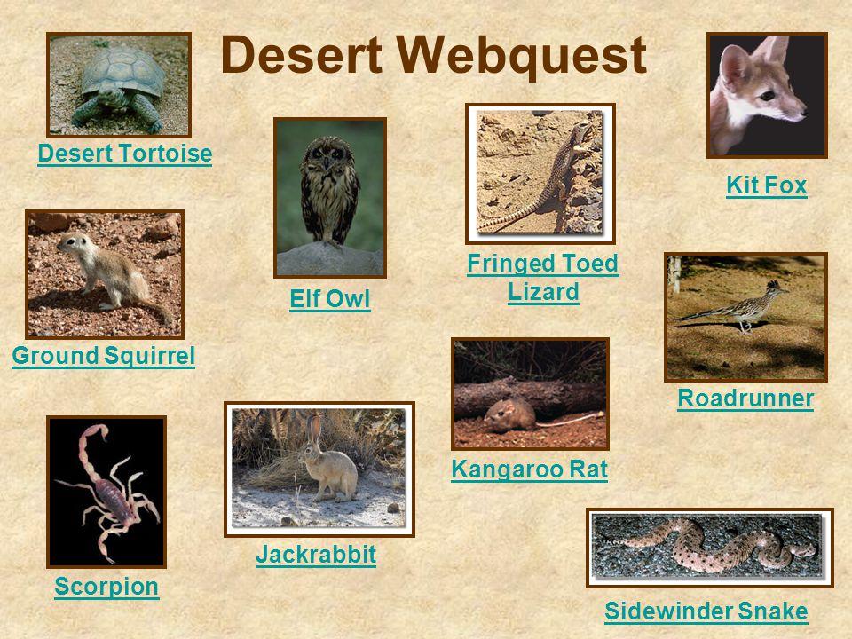 Desert Webquest Desert Tortoise Elf Owl Fringed Toed Lizard Ground Squirrel Jackrabbit Kangaroo Rat Kit Fox Roadrunner Scorpion Sidewinder Snake