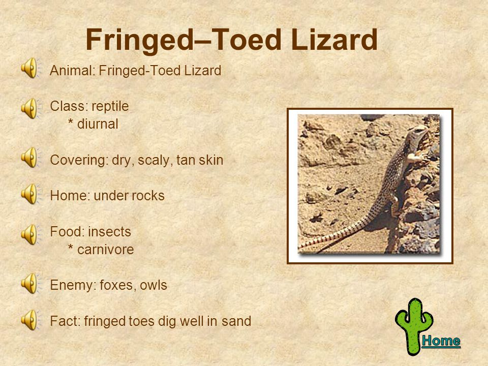 Fringed–Toed Lizard Animal: Fringed-Toed Lizard Class: reptile * diurnal Covering: dry, scaly, tan skin Home: under rocks Food: insects * carnivore Enemy: foxes, owls Fact: fringed toes dig well in sand