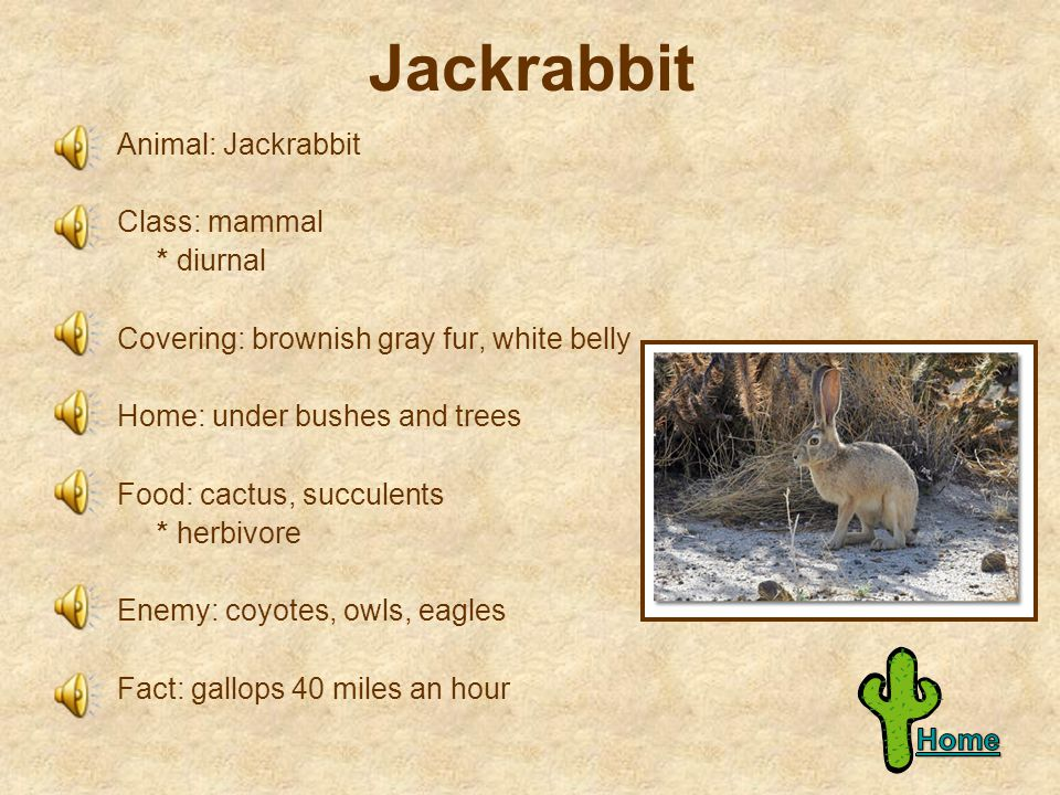 Ground Squirrel Animal: Ground Squirrel Class: mammal * diurnal Covering: light brown fur, dark spots Home: underground burrows Food: grass, seeds, insects * omnivore Enemy: coyotes, eagles, hawks Fact: pants to cool off