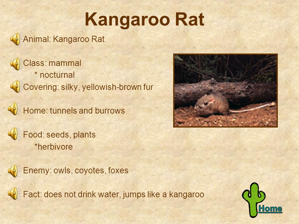 Kangaroo Rat Animal: Kangaroo Rat Class: mammal * nocturnal Covering: silky, yellowish-brown fur Home: tunnels and burrows Food: seeds, plants *herbivore Enemy: owls, coyotes, foxes Fact: does not drink water, jumps like a kangaroo
