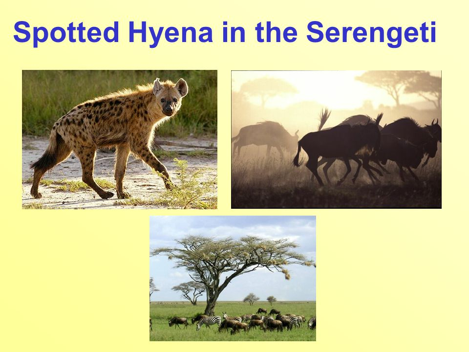 Spotted Hyena in the Serengeti