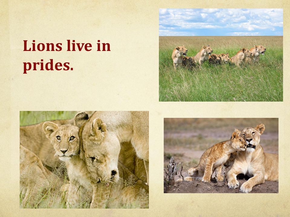 Lions live in prides.