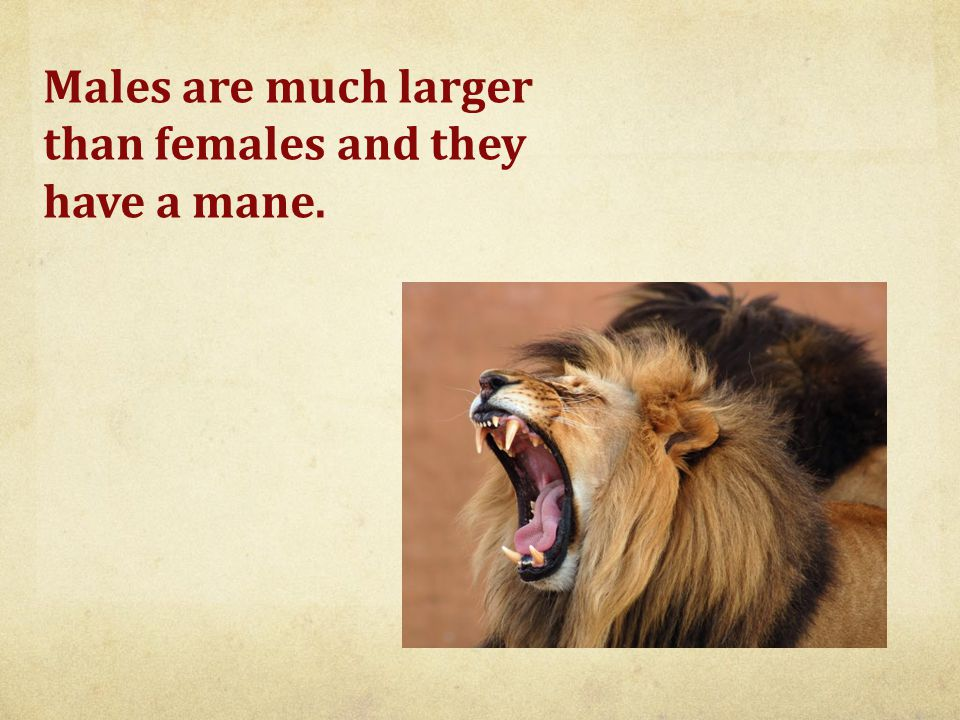 Males are much larger than females and they have a mane.