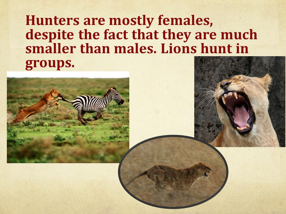 Main prey of the lion is the large mammals such as wildebeest, zebra, buffalo and warthogs.