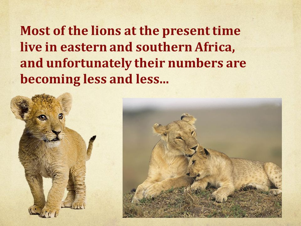 Most of the lions at the present time live in eastern and southern Africa, and unfortunately their numbers are becoming less and less...